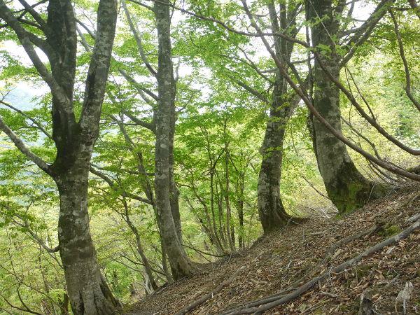 木地山峠近くのブナ林