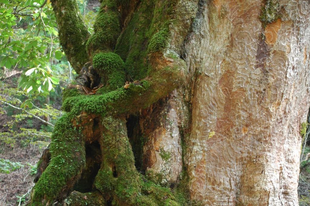 トチノキの老樹の幹