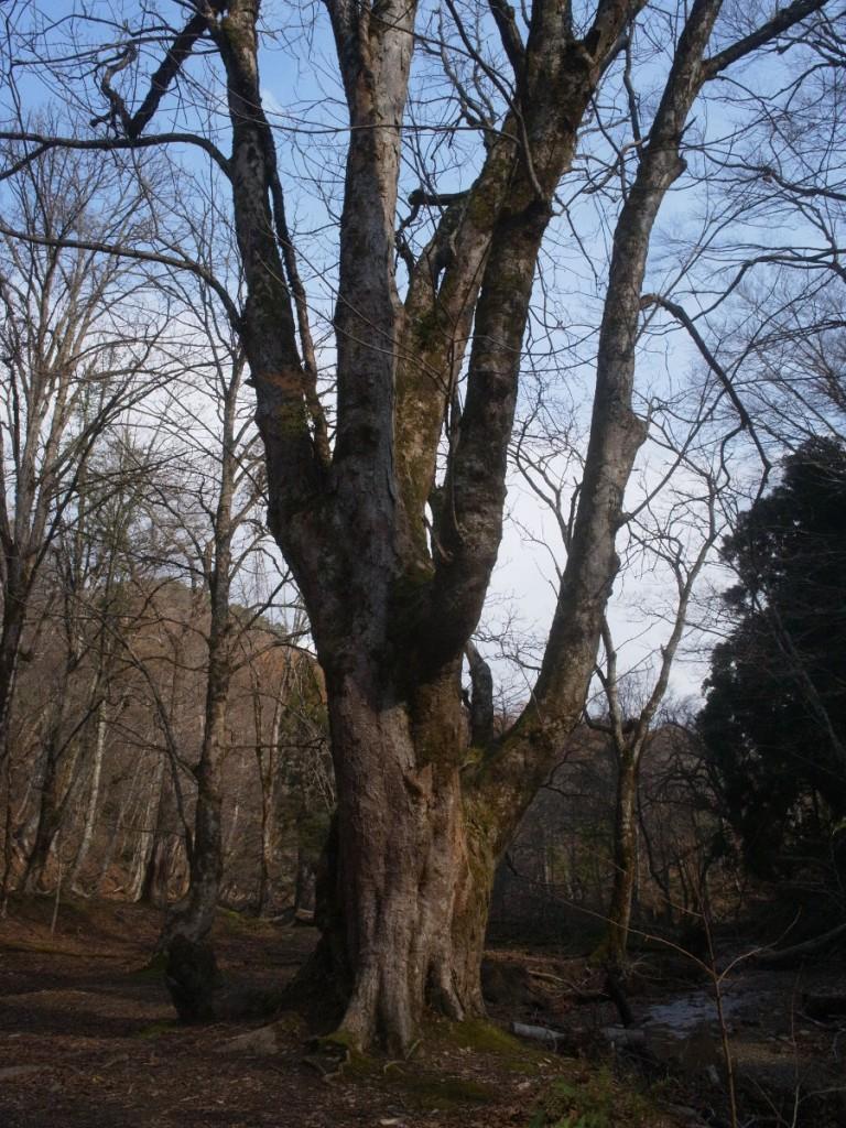 晩秋のトチの木