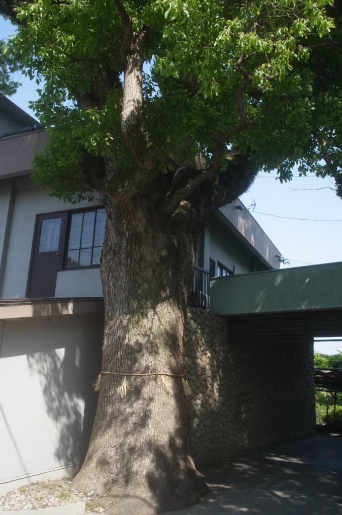 町屋橋跡の楠