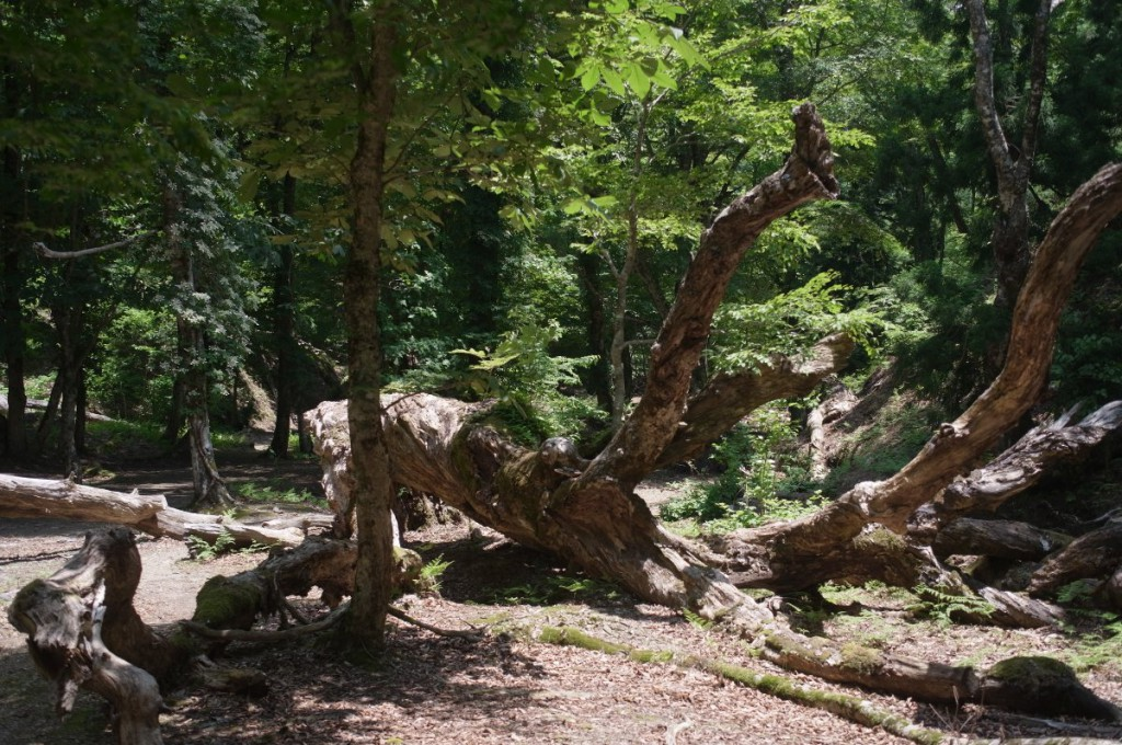 すっかり環境の一部となったミズナラの倒木