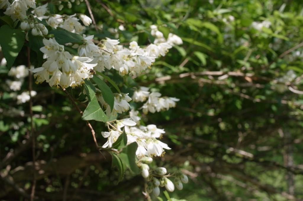 ウツギの花(卯の花)