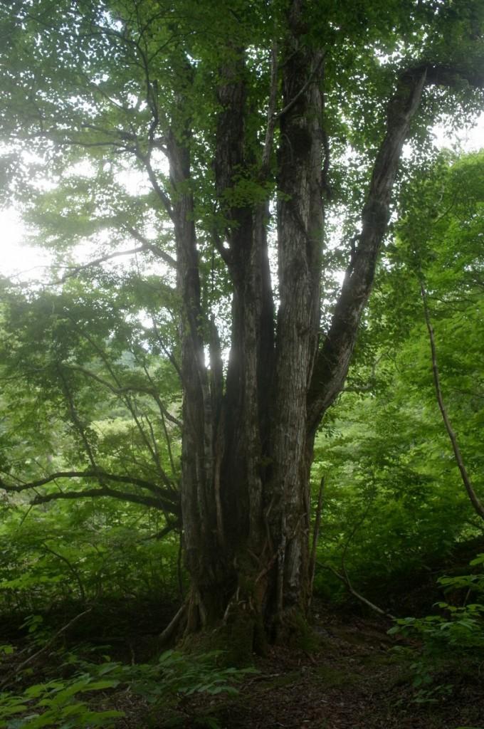 カツラの巨木 GXR A16