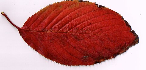 海蔵川のサクラの落ち葉