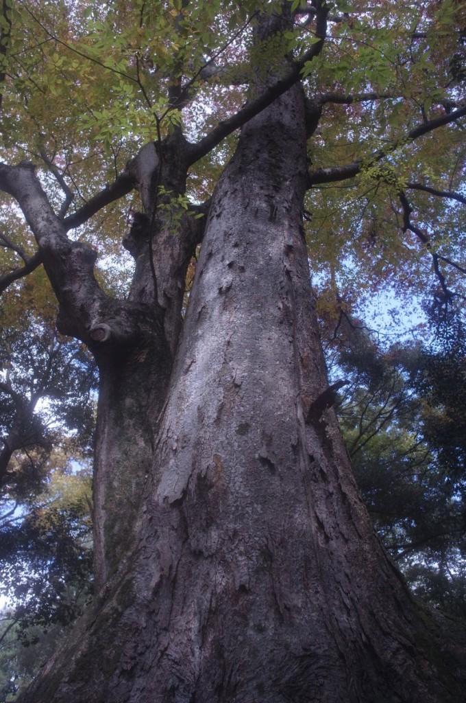 公園内の大きなケヤキ。こうした木を見るとつい撮りたくなります。 GXR A12 28mm