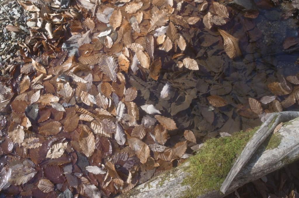 澱みに溜まった落ち葉。ナラ、クリ、ブナ、