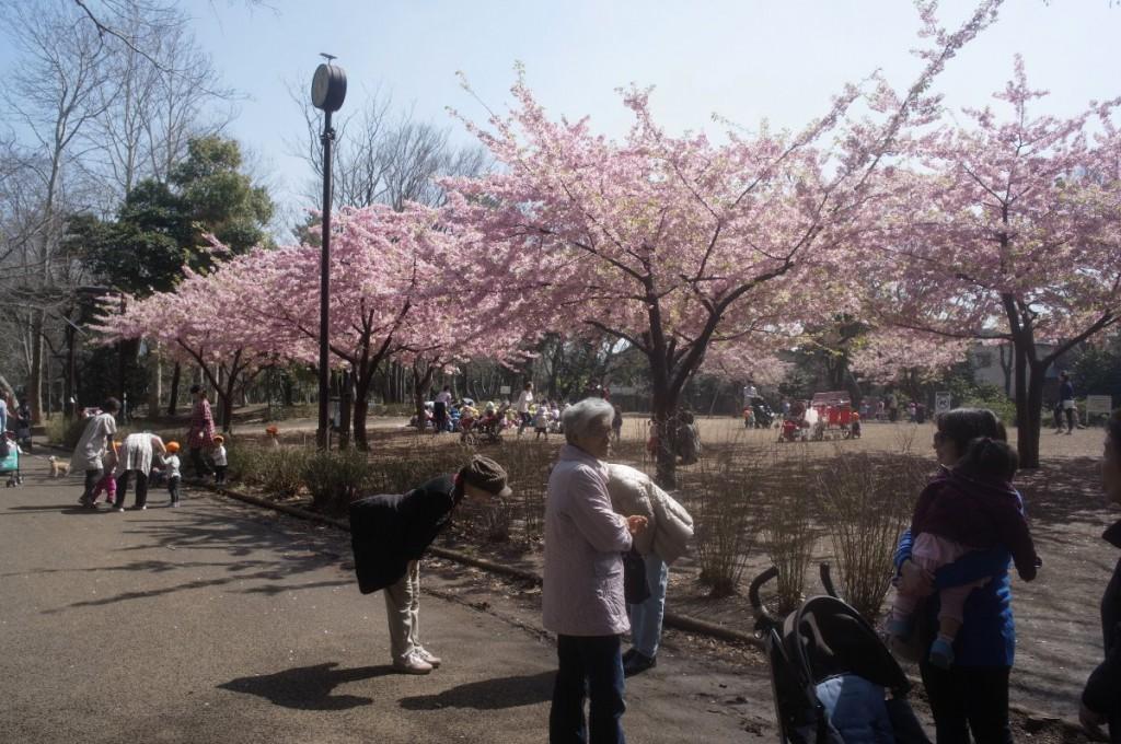 林試の森公園の桜は、早くも満開だった。