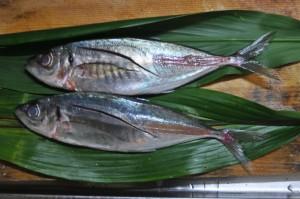 下拵えをした鯵。愛知県産。こうした大衆魚でも、鯖などはノルウェー産だったりして驚く