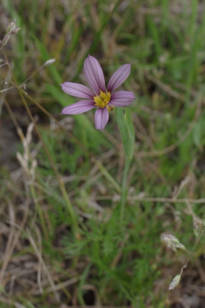ニワゼキショウ(紫)。GXR S10